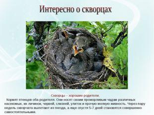 Скворцы – хорошие родители. Кормят птенцов оба родителя. Они носят своим прож