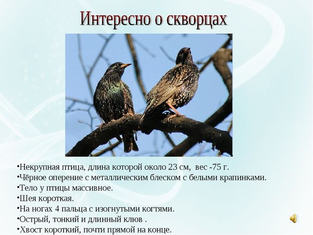 Некрупная птица, длина которой около 23 см, вес -75 г. Чёрное оперение с мета...