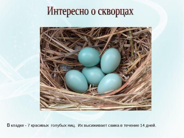 В кладке - 7 красивых голубых яиц. Их высиживает самка в течение 14 дней.