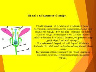 ІІІ жаңа тақырыпты түсіндіру Гүлбөлімдері– гүл сағағы, гүл табаны (тұғыры),