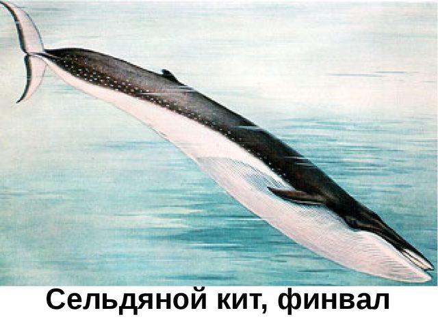 Сельдяной кит, финвал