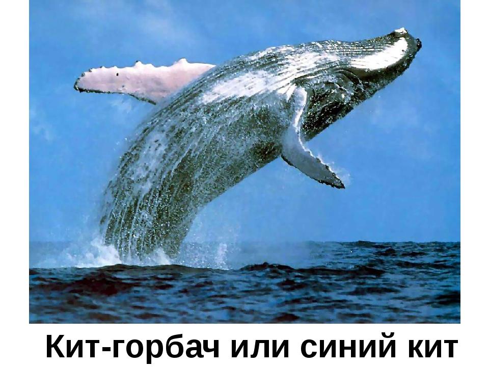 Кит-горбач или синий кит