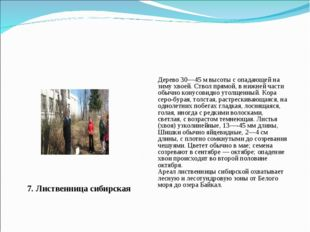 7. Лиственница сибирская Дерево 30—45 м высоты с опадающей на зиму хвоей. Ств