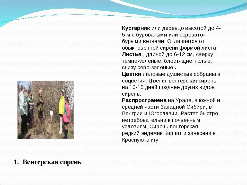 1. Венгерская сирень Кустарник или деревцо высотой до 4-5 м с буроватыми или...