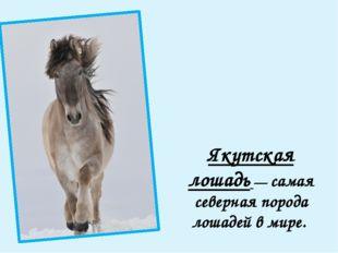 Якутская лошадь — самая северная порода лошадей в мире.