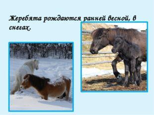 Якуты ездят на лошадях на охоту. Для этого лошадь берут из табуна и один-два