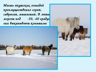 Серые лошади преобладают в северных районах Якутии; они очень рано седеют и