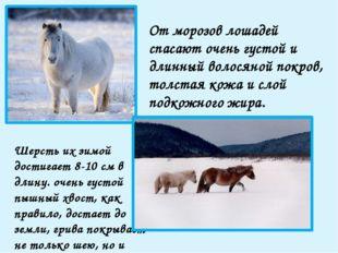 От морозов лошадей спасают очень густой и длинный волосяной покров, толстая к