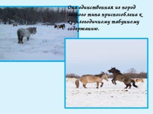 Якутские лошади позднеспелы, но долговечны: достигая полного развития лишь к