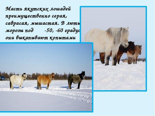 Серые лошади преобладают в северных районах Якутии; они очень рано седеют и...