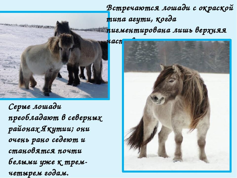 Среди якутских лошадей выделяются два типа: северный и южный. Они отличаются...