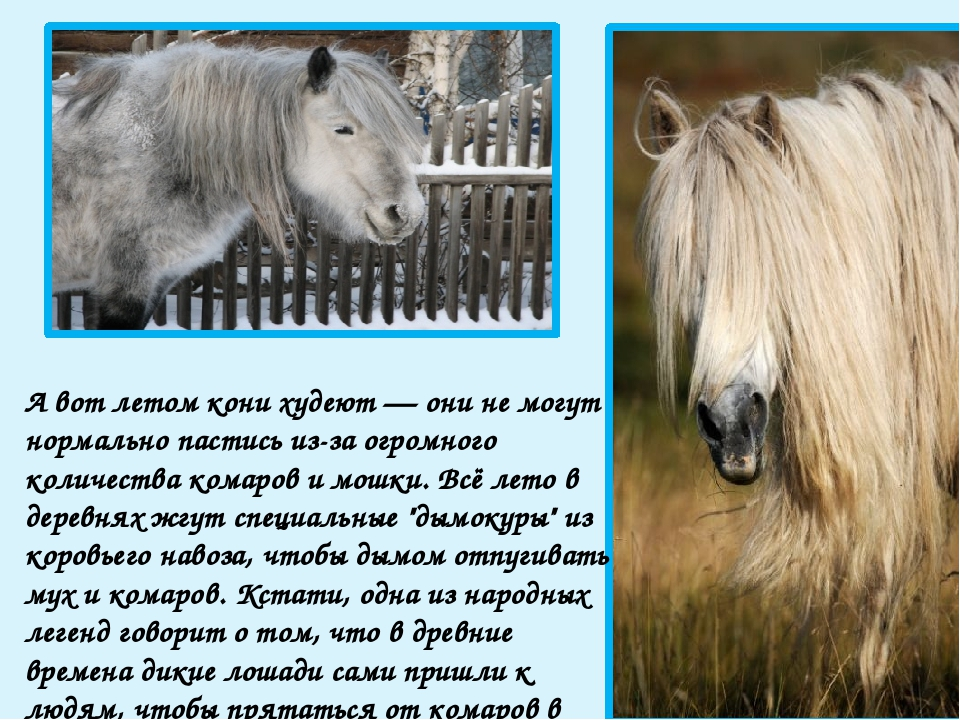 Сено зимой получают в основном лишь рабочие лошади (это, как правило, мерины)...