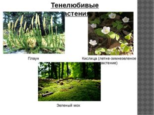 Тенелюбивые растения Плаун Кислица (летне-зимнезеленое растение) Зеленый мох