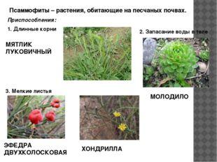 Псаммофиты – растения, обитающие на песчаных почвах. Приспособления: 1. Длин