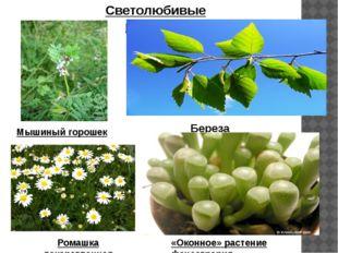 Светолюбивые растения Мышиный горошек Береза Ромашка лекарственная «Оконное»