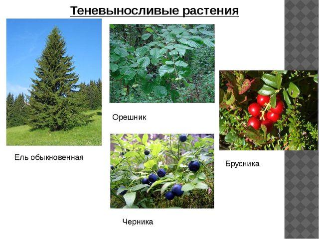 Теневыносливые растения Ель обыкновенная Орешник Брусника Черника
