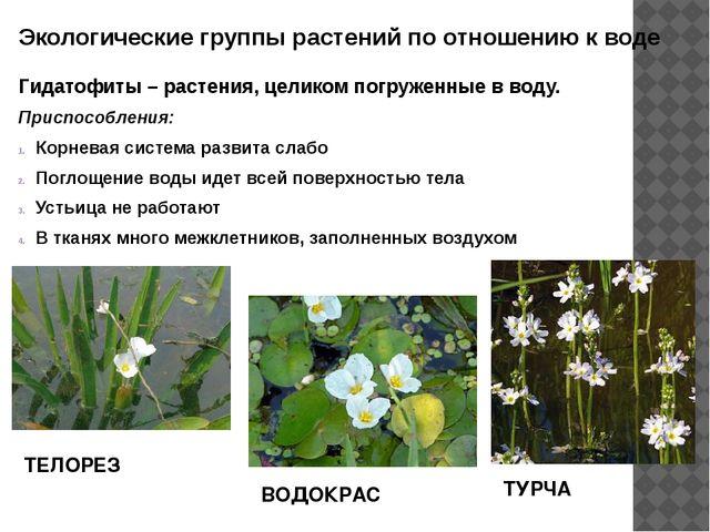 Экологические группы растений по отношению к воде Гидатофиты – растения, цели...