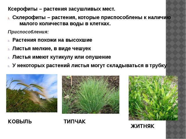 Ксерофиты – растения засушливых мест. Склерофиты – растения, которые приспосо...