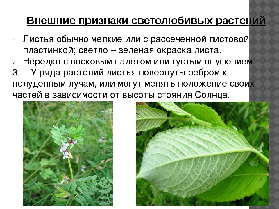 Внешние признаки светолюбивых растений Листья обычно мелкие или с рассеченной...