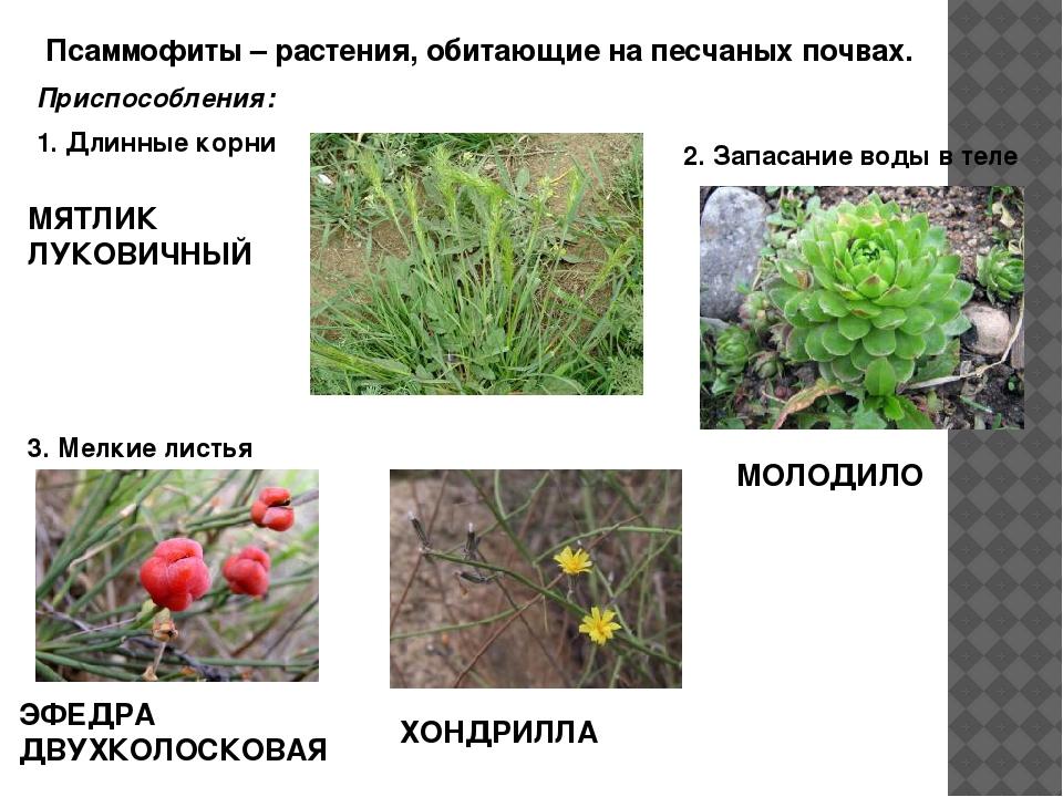 Псаммофиты – растения, обитающие на песчаных почвах. Приспособления: 1. Длин...