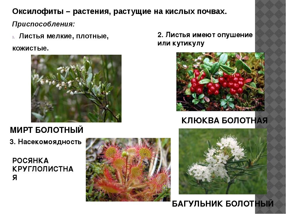 Оксилофиты – растения, растущие на кислых почвах. Приспособления: Листья мелк...