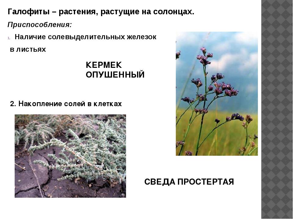 Галофиты – растения, растущие на солонцах. Приспособления: Наличие солевыдели...