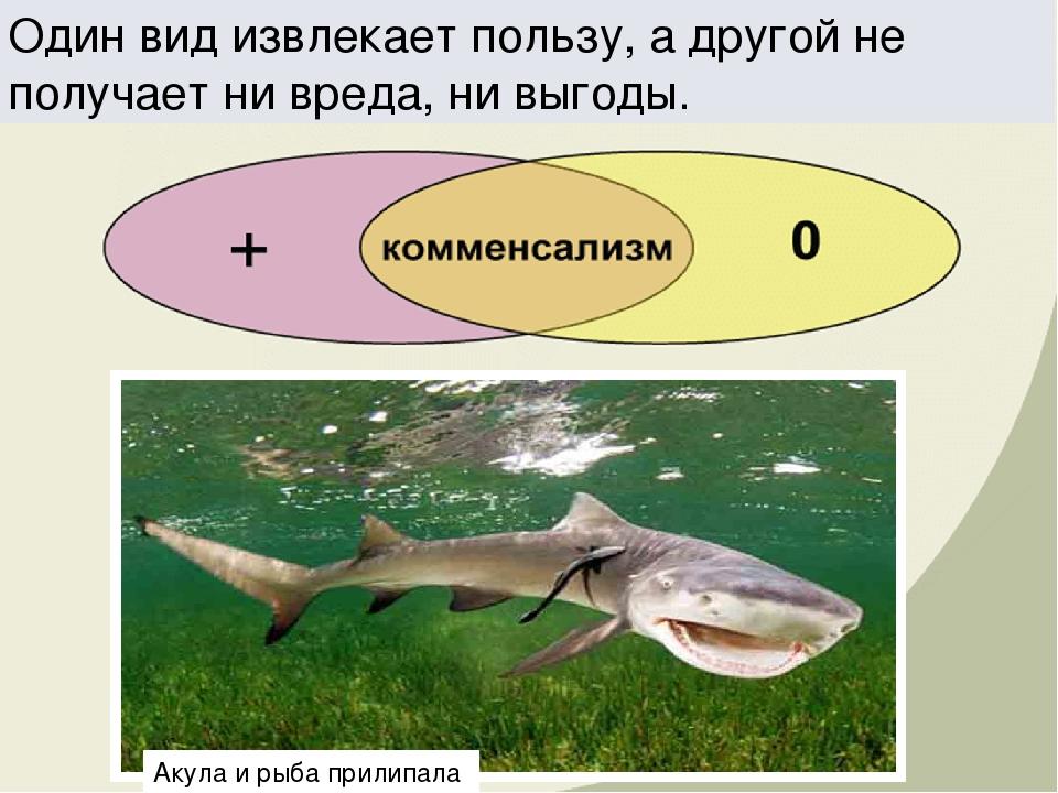 Один вид извлекает пользу, а другой не получает ни вреда, ни выгоды. Акула и...