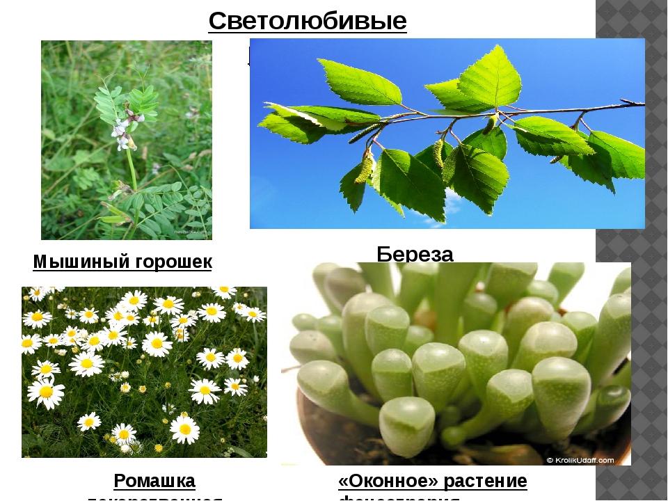 Светолюбивые растения Мышиный горошек Береза Ромашка лекарственная «Оконное»...