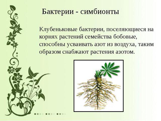 Бактерии - симбионты Клубеньковые бактерии, поселяющиеся на корнях растений с...