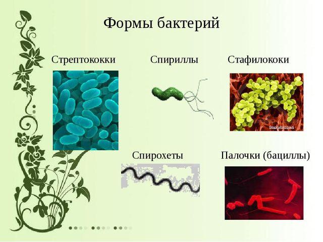 Формы бактерий Стрептококки Спириллы Стафилококи Спирохеты Палочки (бациллы)