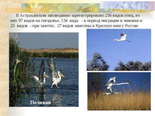 В Астраханском заповеднике зарегистрировано 256 видов птиц, из них 97 видов