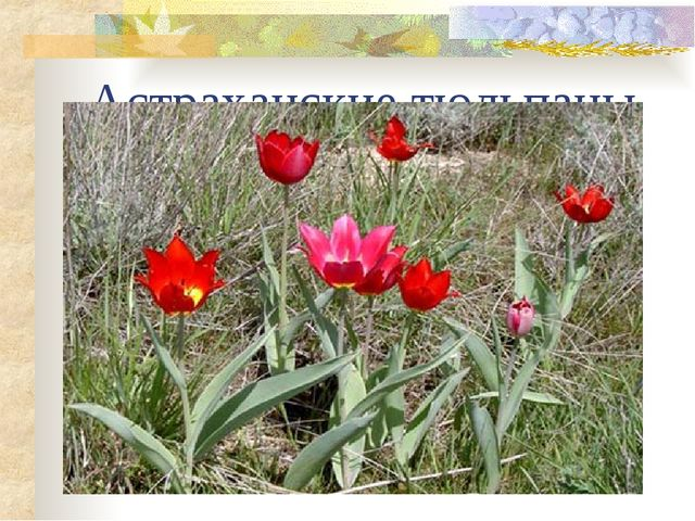 Астраханские тюльпаны