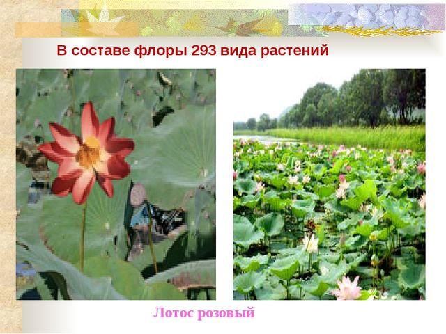 В составе флоры 293 вида растений Лотос розовый