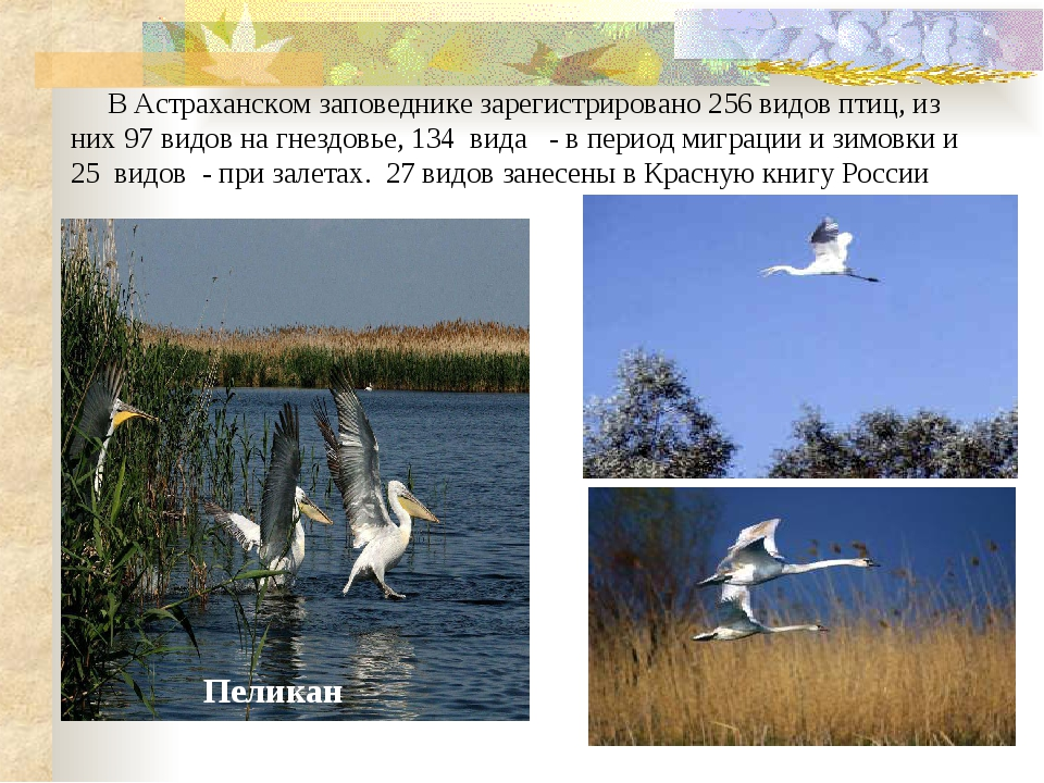 В Астраханском заповеднике зарегистрировано 256 видов птиц, из них 97 видов...