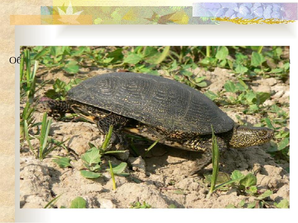 Обитают 5 видов рептилий, в том числе редкая болотная черепаха