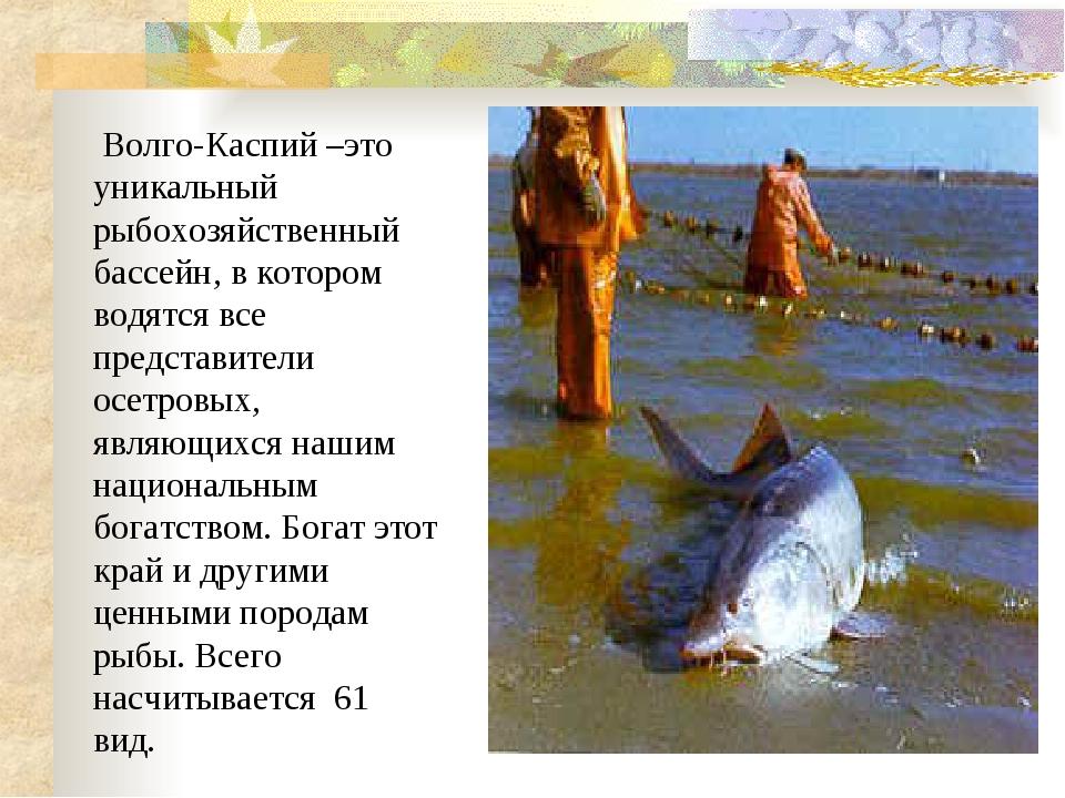 Волго-Каспий –это уникальный рыбохозяйственный бассейн, в котором водятся вс...