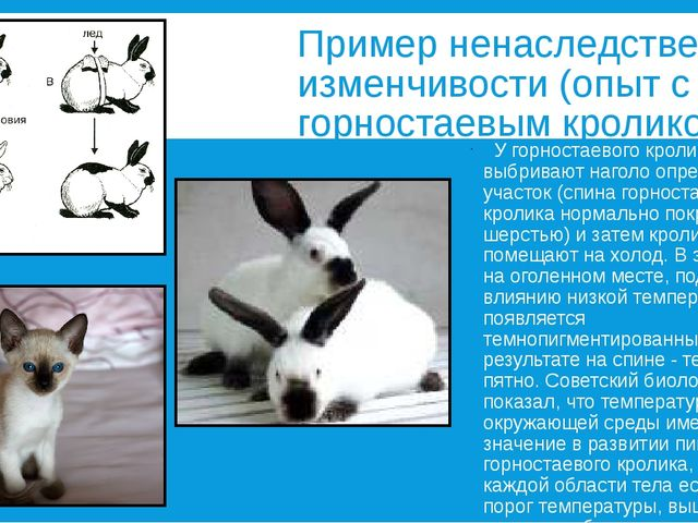 Пример ненаследственной изменчивости (опыт с горностаевым кроликом) У горност...