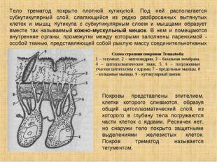 Тело трематод покрыто плотной кутикулой. Под ней располагается субкутикулярны