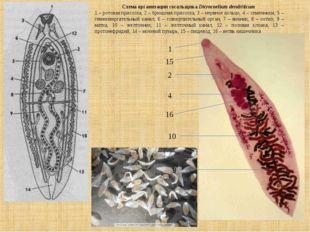 Схема организации сосальщика Dicrocoelium dendriticum 1 – ротовая присоска, 2