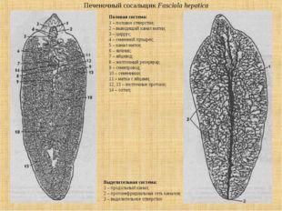 Печеночный сосальщик Fasciola hepatica Выделительная система: 1 – продольный