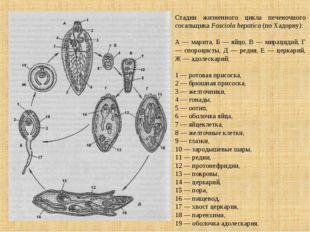 Стадии жизненного цикла печеночного сосальщика Fasciola hepatica (по Хадорну)