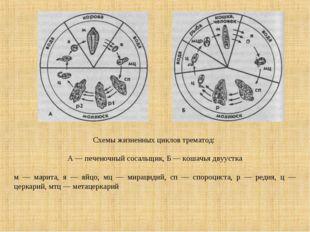 Схемы жизненных циклов трематод: А — печеночный сосальщик, Б — кошачья двууст