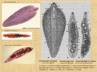 Fasciola hepatica Opistorchis felineus Dicrocoelium dendriticum