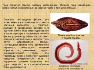 Тело трематод обычно плоское, листовидное. Окраска тела невзрачная, грязно-бе