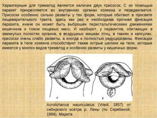 Характерным для трематод является наличие двух присосок. С их помощью паразит