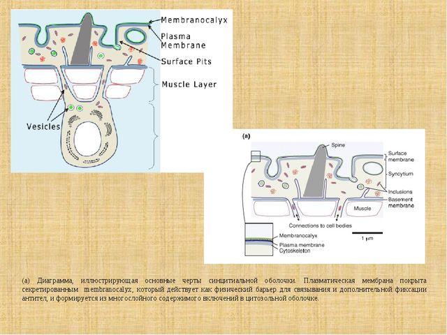 (а) Диаграмма, иллюстрирующая основные черты синцитиальной оболочки. Плазмати...