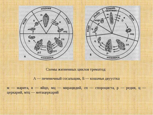 Схемы жизненных циклов трематод: А — печеночный сосальщик, Б — кошачья двууст...