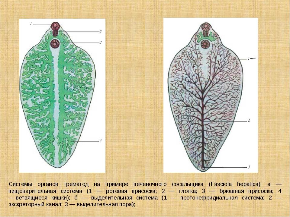 Системы органов трематод на примере печеночного сосальщика (Fasciola hepatica...
