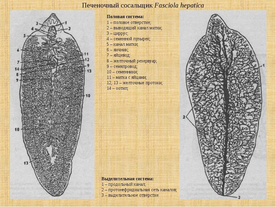 Печеночный сосальщик Fasciola hepatica Выделительная система: 1 – продольный...