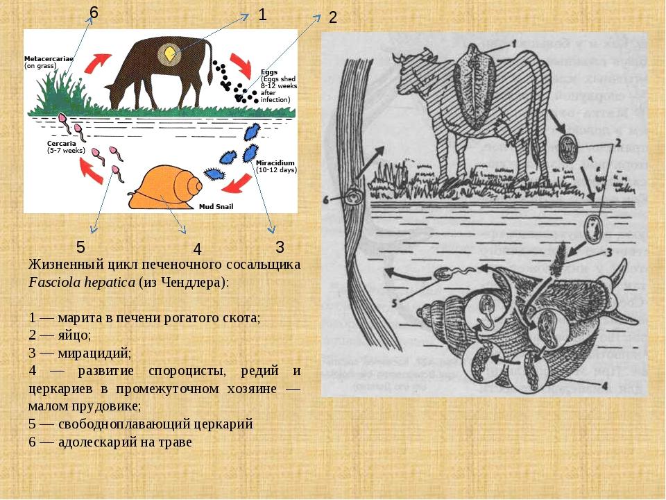 Жизненный цикл печеночного сосальщика Fasciola hepatica (из Чендлера): 1 — ма...